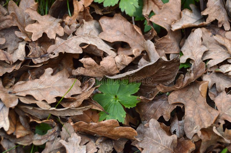 Autumn leaves of black oak stock photography