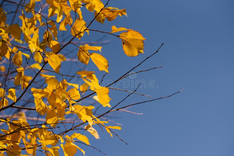 Autumn leaves with the blue sky background, Yellow bright colorful leaves and branches. Fall themes, copy space stock photos
