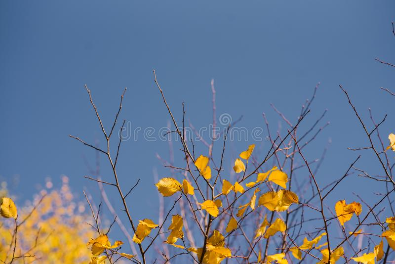 Autumn leaves with the blue sky background, Yellow bright colorful leaves and branches. Fall themes, copy space royalty free stock images