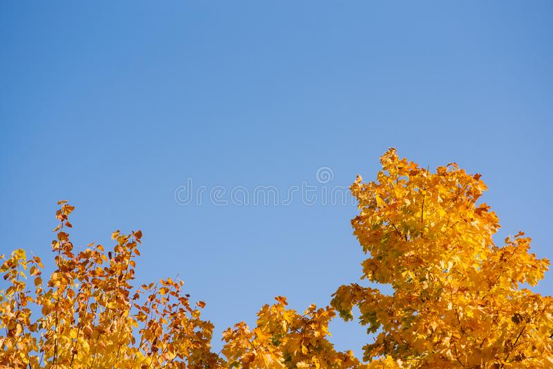 Autumn leaves with the blue sky background, Yellow bright colorful leaves and branches. Fall themes, copy space royalty free stock photos