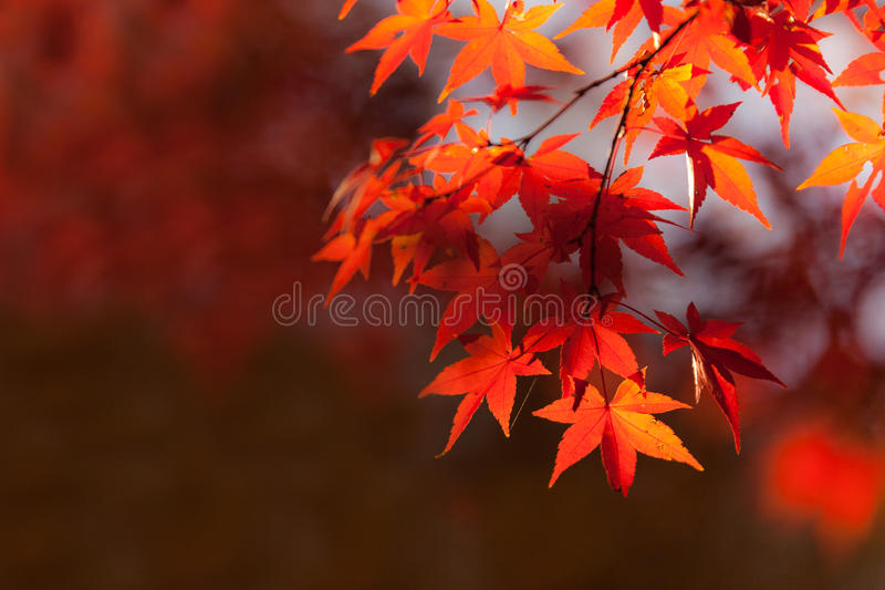 Autumn leaves on branch. Close up of red autumn leaves on branches near Kenmo Lake, South Africa royalty free stock photography