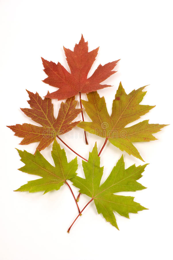 Autumn Leaves Changing Color Isolated fotografie stock