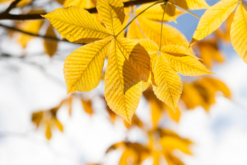 Download Autumn Leaves Of Chestnut  In Sunlight Stock Photo - Image: 29355608