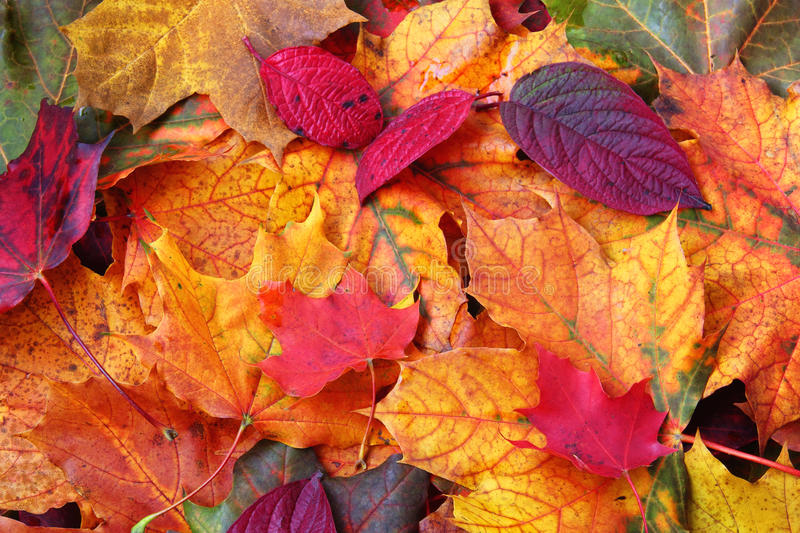 Autumn Leaves. Close up of a mixture of Autumn leaves - great range of colours royalty free stock photo