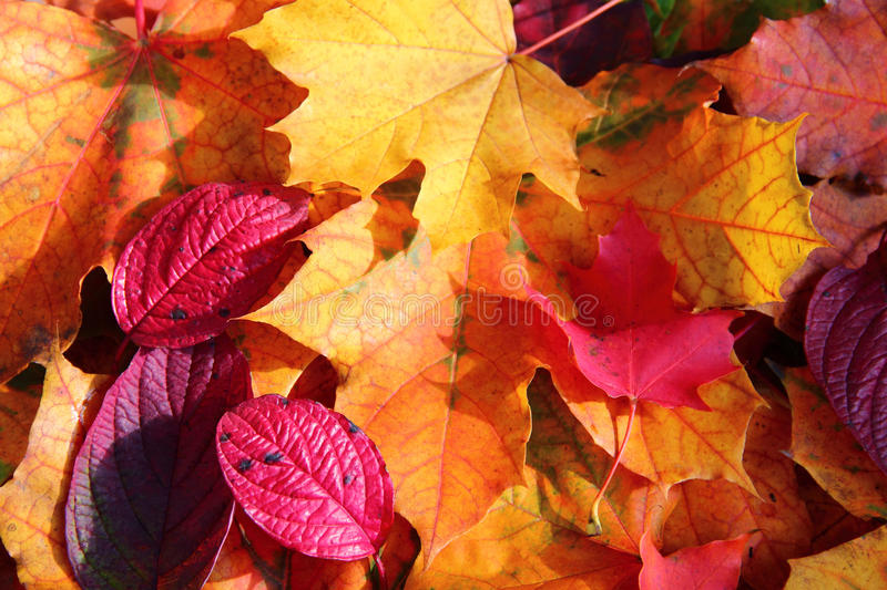 Autumn Leaves. Close up of a mixture of Autumn leaves - great range of colours royalty free stock photos