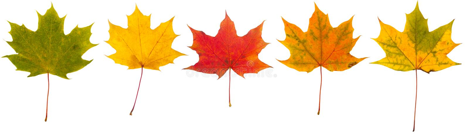 Download Autumn leaves collection stock photo. Image of flora - 21347752