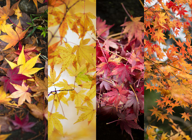 Autumn leaves color changes. Four different sets of Japanese Maple tree leaves stock photo