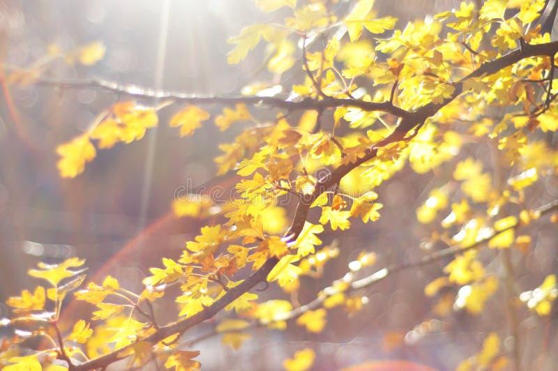 Autumn Leaves com raio de sol fotos de stock