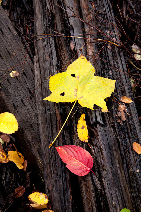 Download Autumn Leaves On Dead Wood. Royalty Free Stock Photos - Image: 21539838