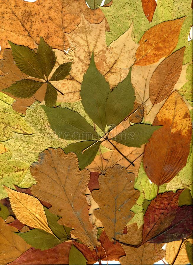 Autumn leaves of different trees and shrubs. Oak, maple, birch, aspen leaves. Fall background. Close-up photo.  royalty free illustration