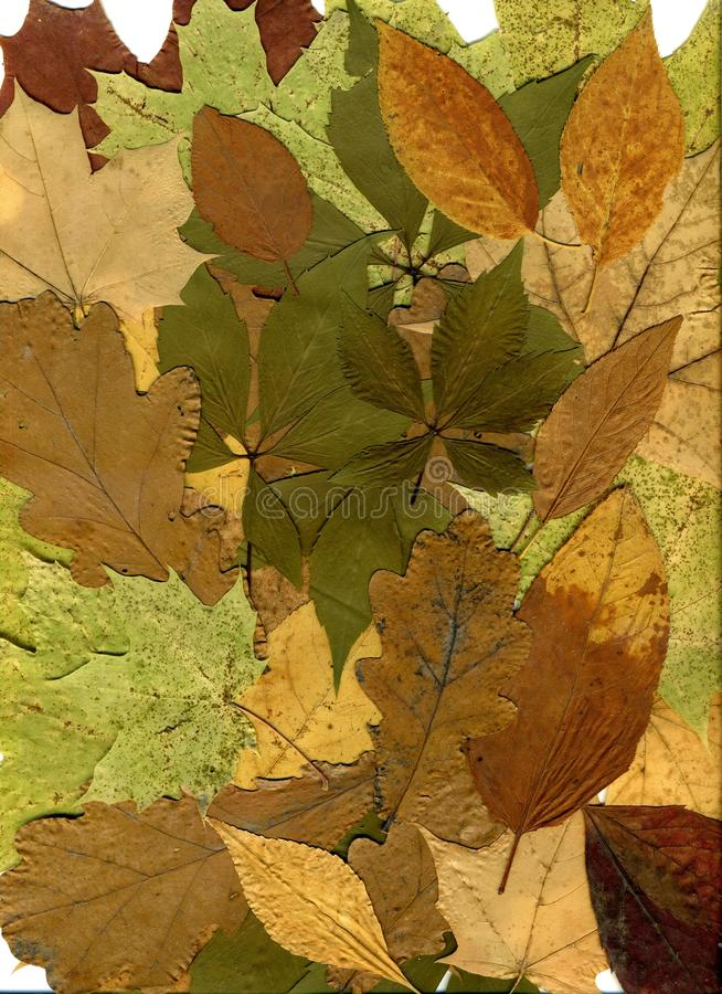 Autumn leaves of different trees and shrubs. Oak, maple, birch, aspen leaves. Fall background. Close-up photo.  stock illustration