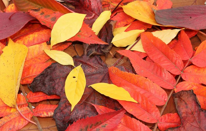 Autumn leaves in fall. A collection of pretty autumn leaves royalty free stock images