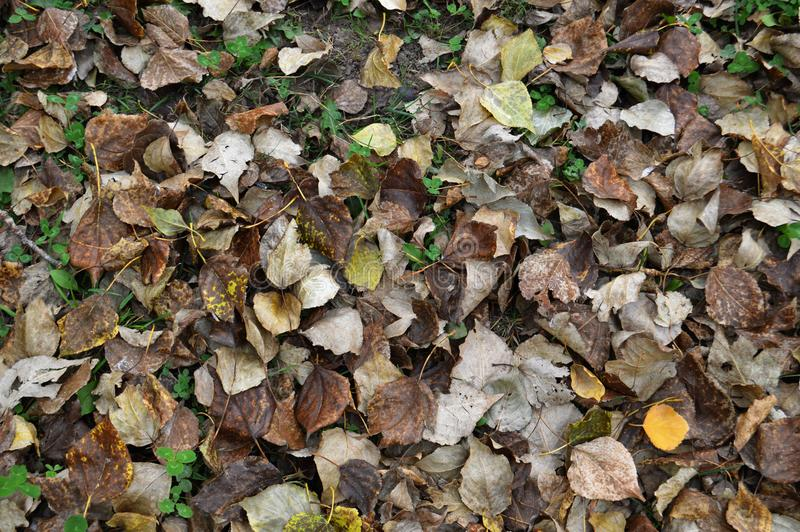 Autumn leaves fall to the ground stock images