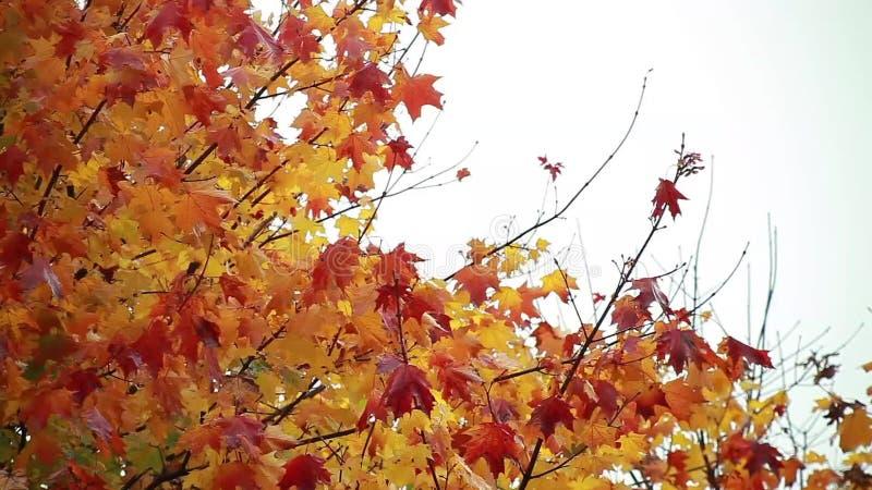 Autumn Leaves Falling 1 almacen de video