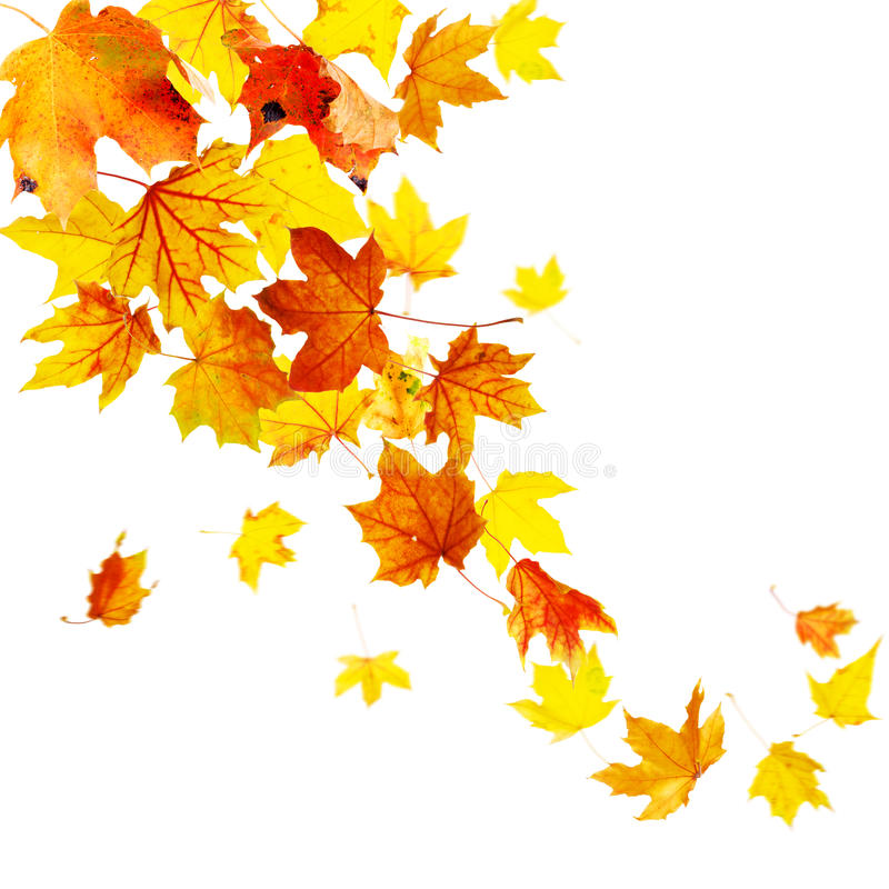 Autumn Leaves. Autumn falling leaves isolated on white background royalty free stock photography
