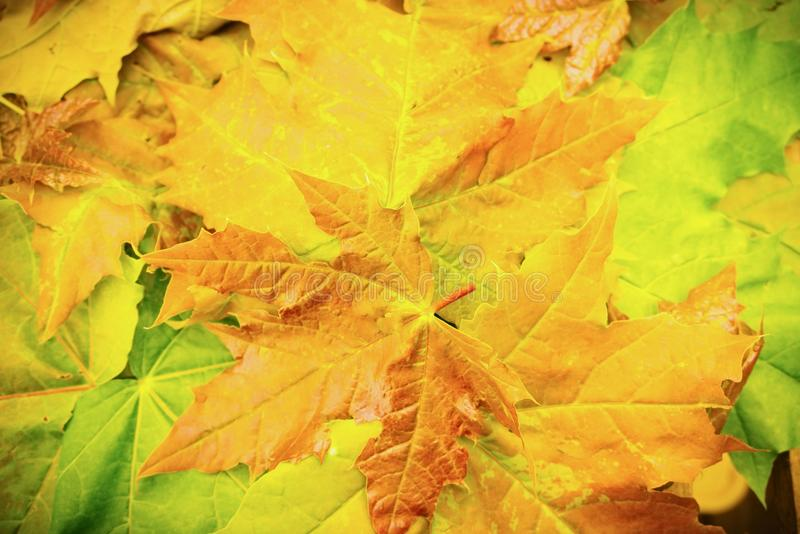 Autumn leaves. royalty free stock images