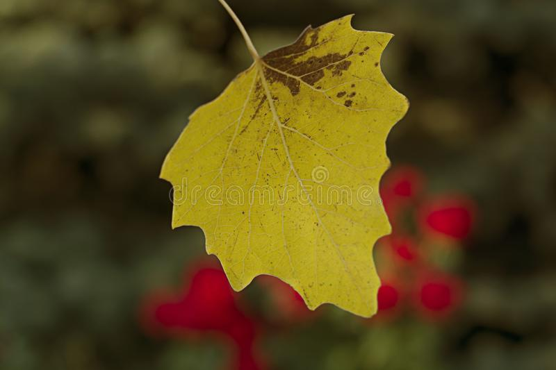 Autumn leaves. The first autumn yellow leaf on the background of trees and roses. Yellow-green background and red roses royalty free stock images