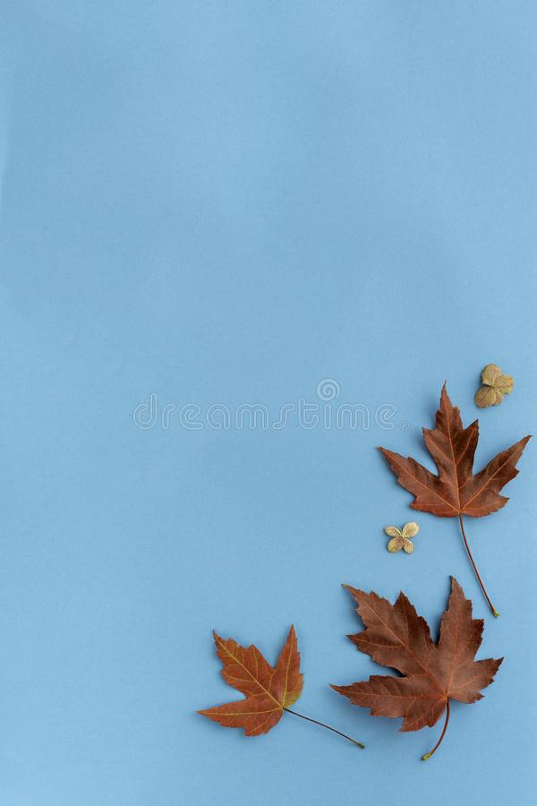 Autumn leaves flat lay composition. Frame from red maple foliage on blue paper background. Autumn concept. Fall leaves design. Top. Autumn leaf flat lay royalty free stock photography
