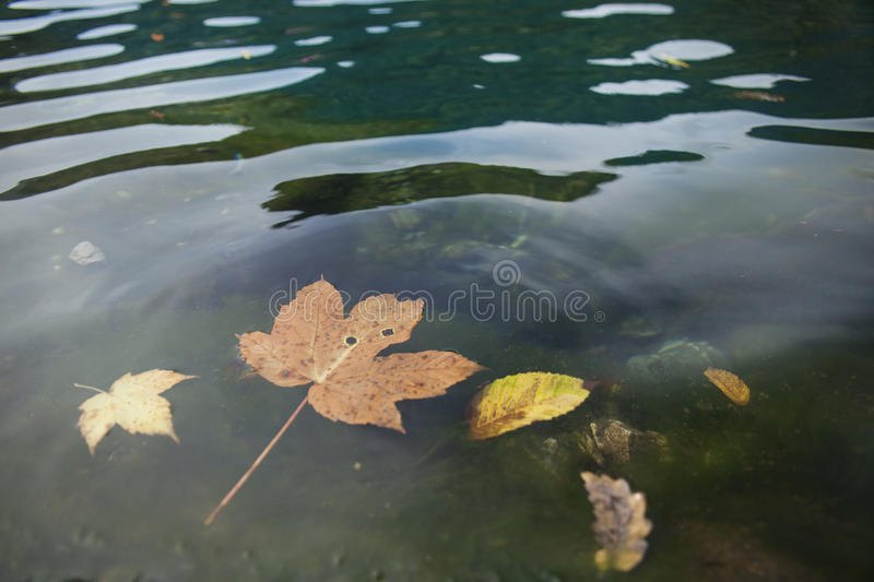 Autumn leaves floating royalty free stock photo