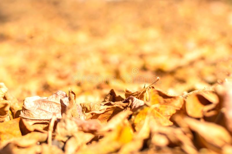 Autumn leaves in the forest close-up royalty free stock image