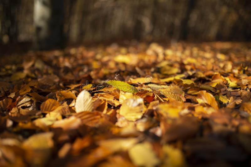 Autumn leaves on forest ground_001 royalty free stock photo