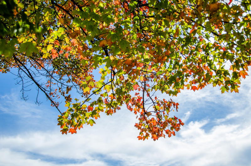 Autumn Leaves in Front of a Blue Sky with Clouds royalty free stock photos