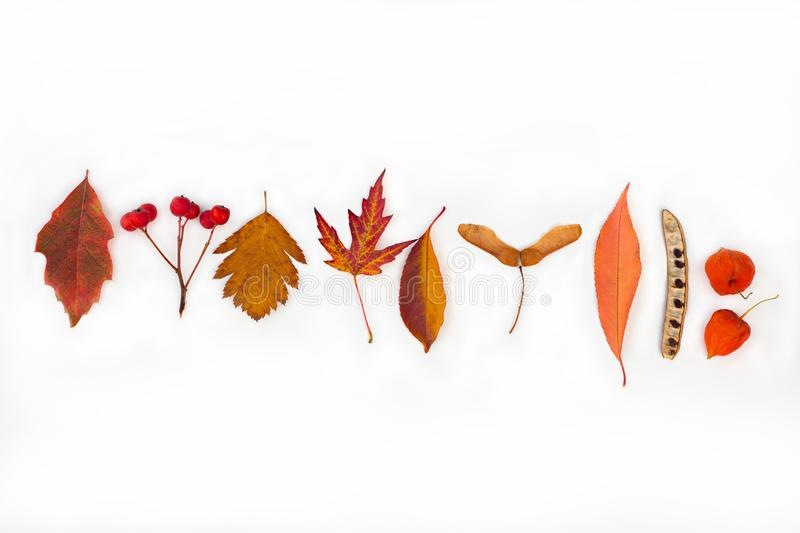 Autumn leaves leaves fruits plant seeds mountain ash physalia acacia maple set of leaves on a white background. Autumn autumn leaves leaves fruits plant seeds royalty free stock images