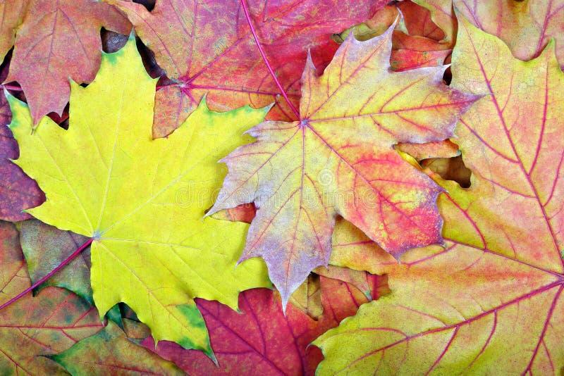 Autumn Leaves Gevallen de textuurachtergrond van esdoornbladeren Hoogste mening De kaart van de herfst Met extra formaat stock afbeeldingen