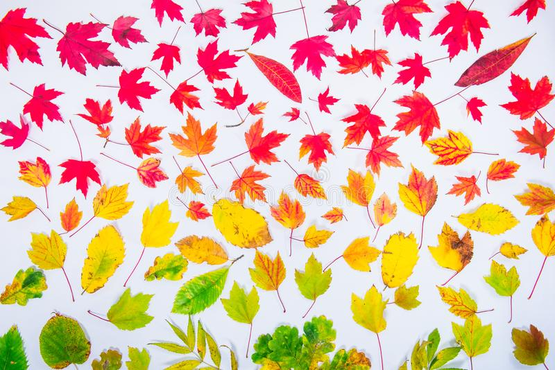 Autumn leaves gradient colorful rainbow leaf pattern fall colors flat lay, top view. Seasonal background. stock images