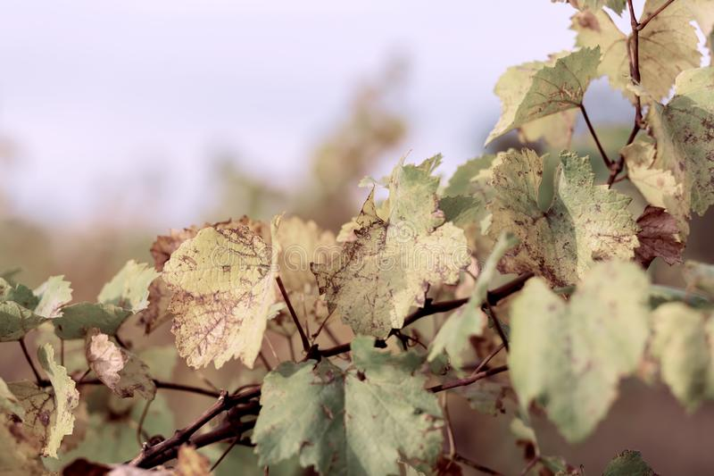 Autumn leaves of grapes. Blue sky and  Grapevine in the fall. Autumn vineyard. Soft focus. Toned image royalty free stock photo