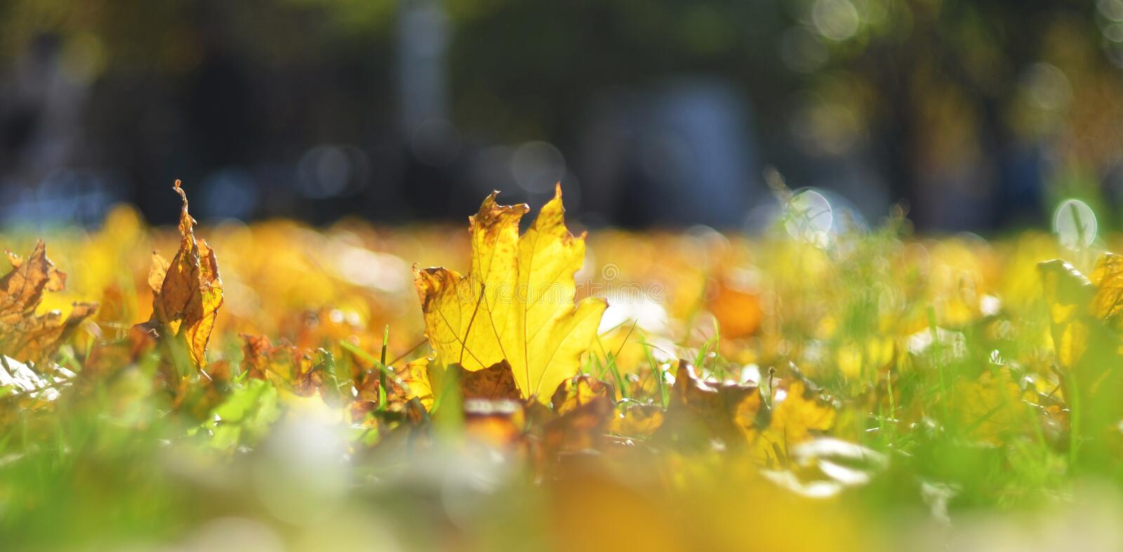 Autumn leaves on green grass. Bright autumn leaves on green grass stock photo