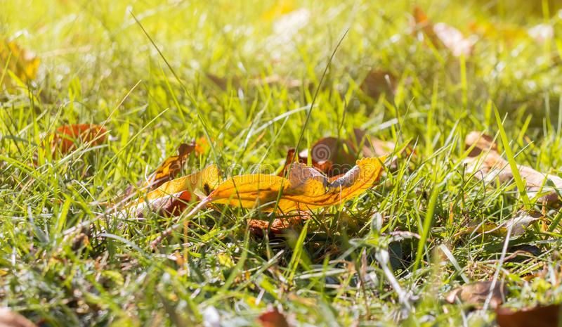Autumn leaves at the green grass in the park stock photo