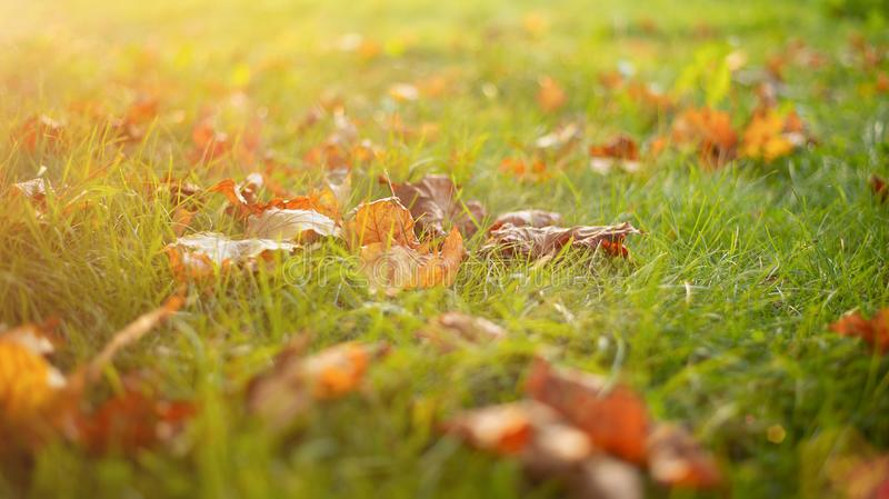 Autumn leaves on the green grass in the sunset rays of the sun royalty free stock photography