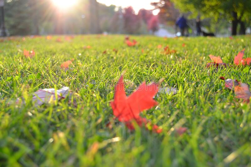 Autumn leaves on green grass royalty free stock images