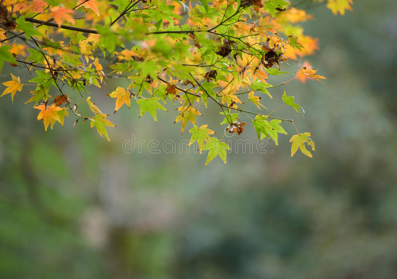 Autumn leaves with green and yellow maple leaf in japan stock photos