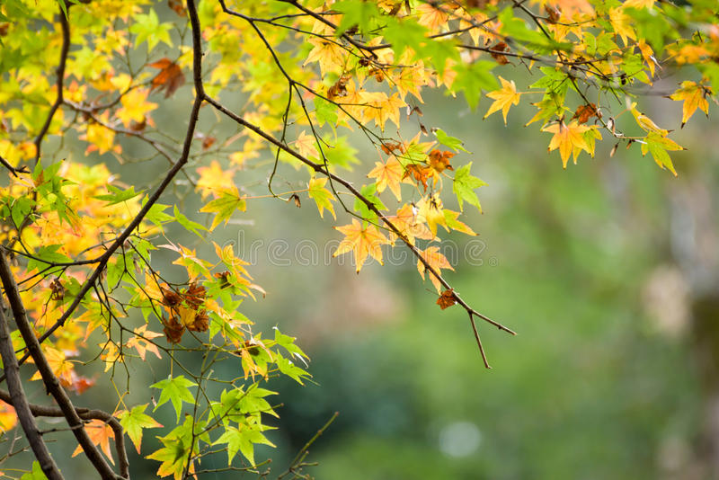 Autumn leaves with green and yellow maple leaf in japan stock photography