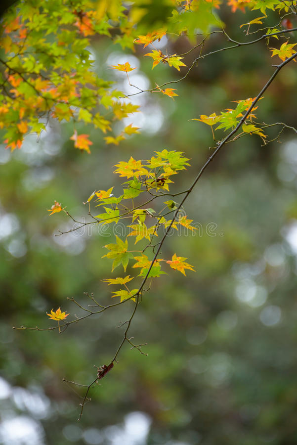 Autumn leaves with green and yellow maple leaf in japan royalty free stock photography