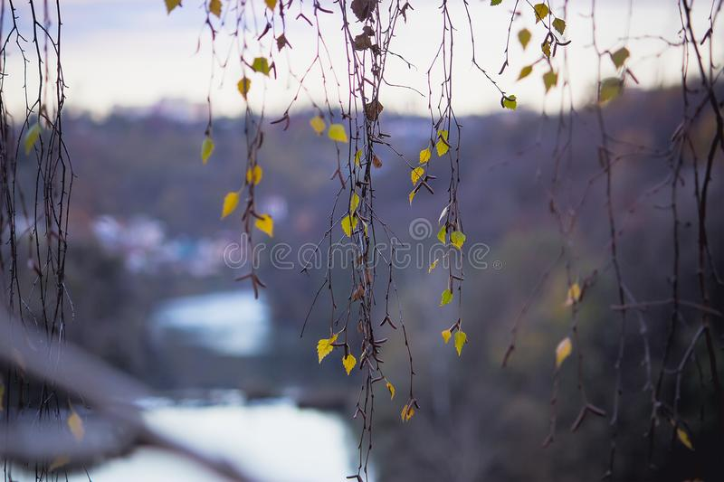 autumn leaves on hanging branches stock images