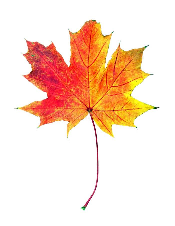 Autumn Leaves helder kleurrijk die esdoornblad op wit wordt geïsoleerd stock afbeeldingen