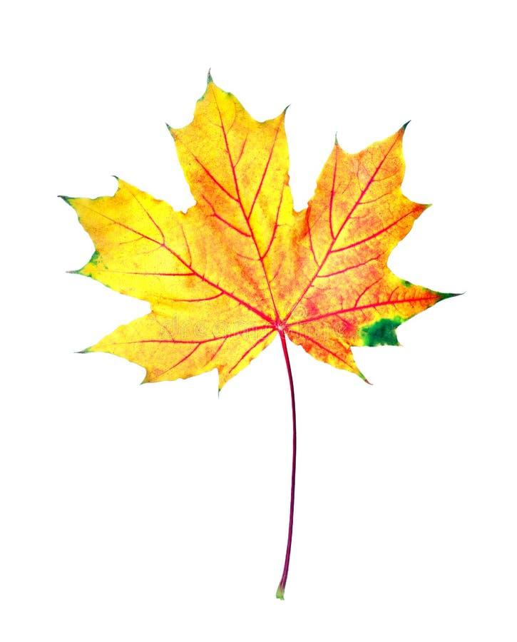 Autumn Leaves helder kleurrijk die esdoornblad op wit wordt geïsoleerd royalty-vrije stock foto