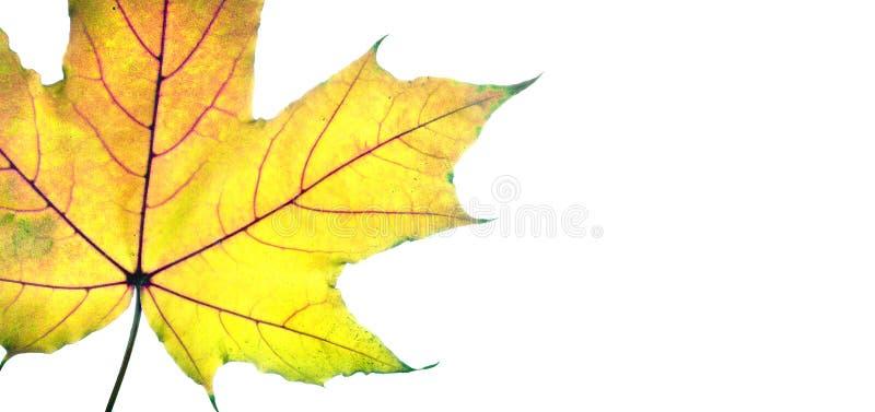 Autumn Leaves helder kleurrijk die esdoornblad op wit wordt geïsoleerd stock foto