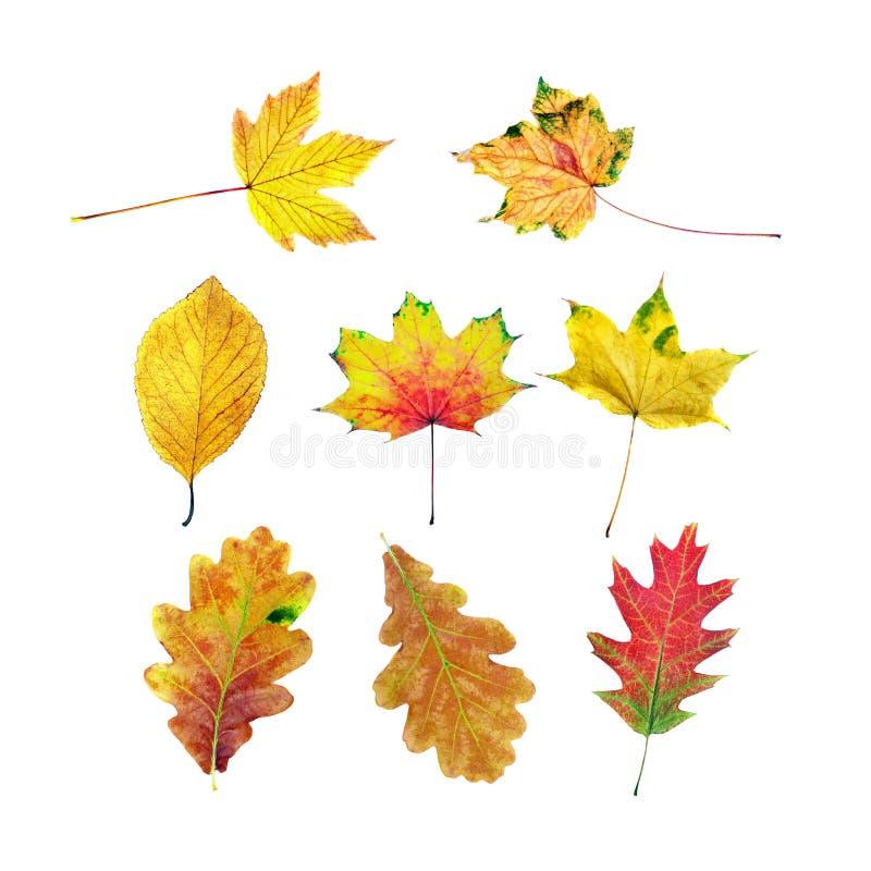 Autumn Leaves helder kleurrijk geïsoleerd esdoornblad stock afbeeldingen