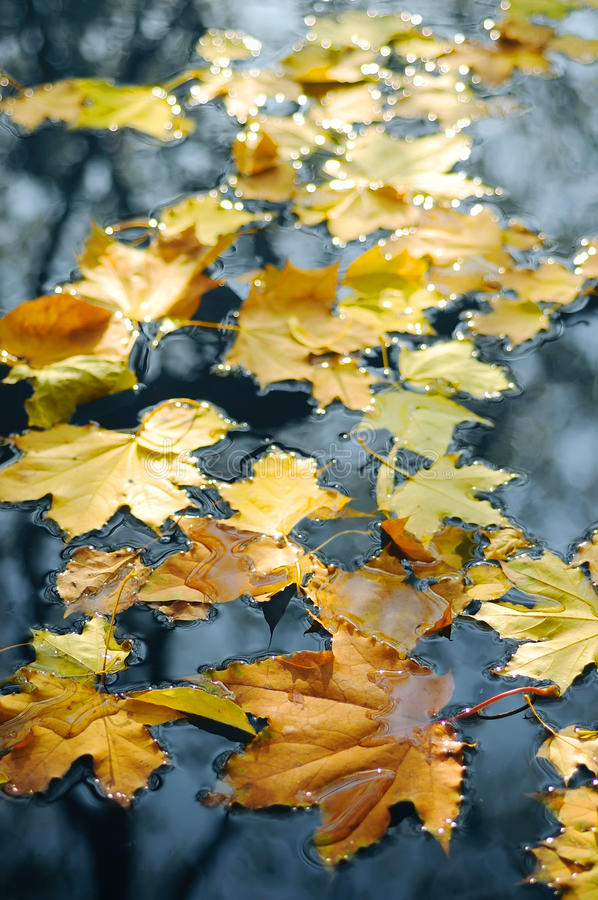 Free Autumn Leaves In Water Stock Photography - 16827902