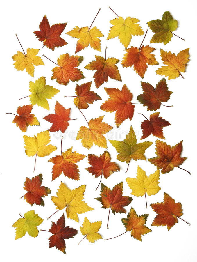 Download Autumn leaves isolated stock photo. Image of leaves, fall - 21443610