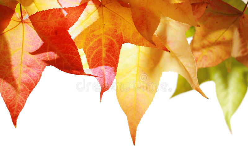 Autumn leaves isolated royalty free stock photo
