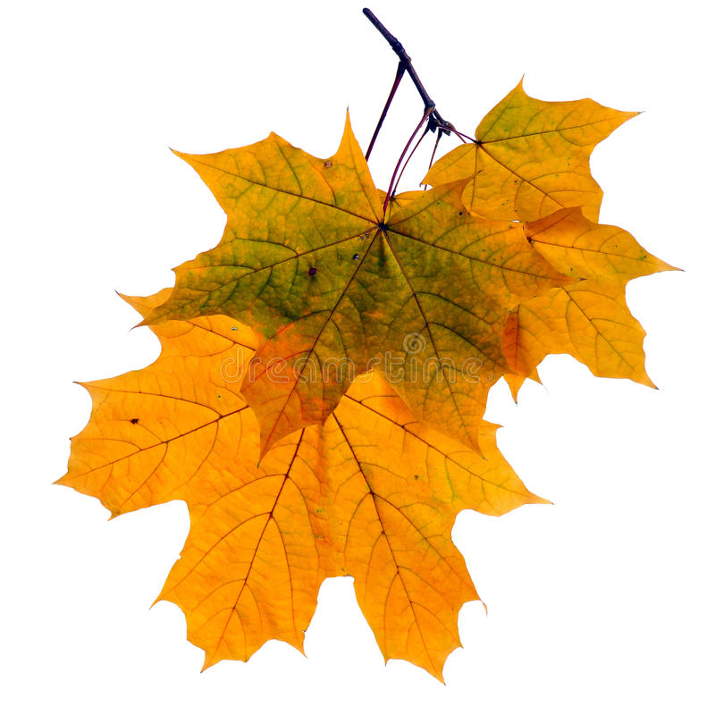 Free Autumn Leaves Isolated On White Background Royalty Free Stock Photography - 60262647
