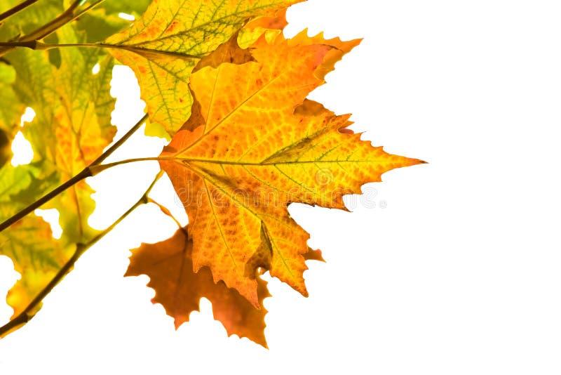 Autumn leaves isolated on white stock image
