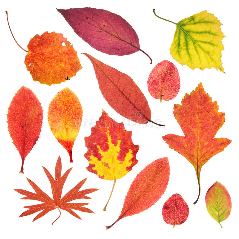 Autumn leaves isolated on white royalty free stock images
