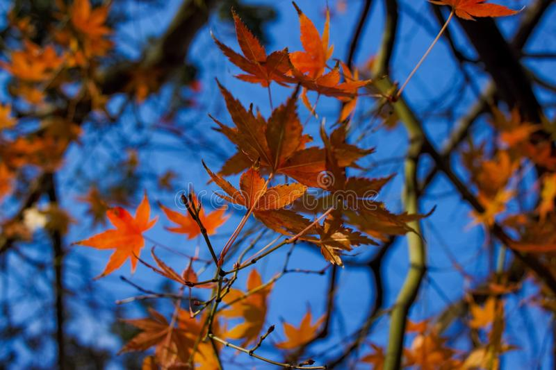 Autumn leaves in Japan. Colourful autumn leaves at Minoo Falls, Osaka, Japan royalty free stock photo