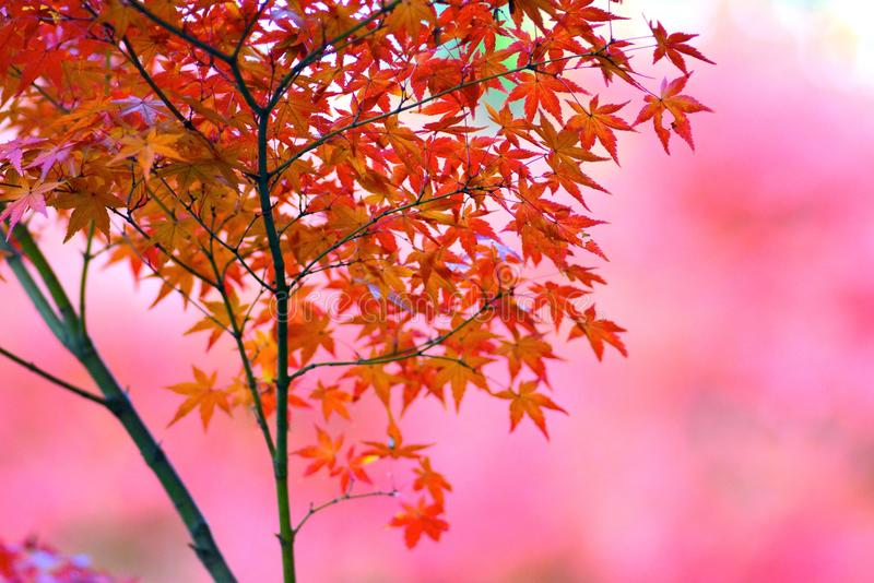 Autumn Leaves in Kyoto stock afbeelding